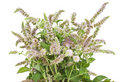 Bush Of The  Blossoming  Peppermint Royalty Free Stock Image - 16172836