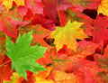Colored Maple Leaves With One Green Leaf Royalty Free Stock Image - 16173996