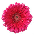 Colorful Gerbera Royalty Free Stock Photo - 16194415