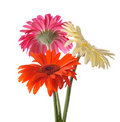 Colorful Gerbera Royalty Free Stock Images - 16195379