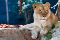 Lioness Royalty Free Stock Image - 1627686