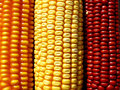 Colored Corn Royalty Free Stock Photo - 16220845