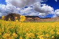 Field Of Yellow Flowers And  Sky Stock Photography - 16235162