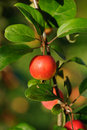 Branch With Red Apple Stock Photography - 16292262