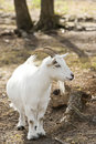 Billy Goat Royalty Free Stock Image - 16297346