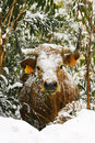 Cow With Snow On The Bush Stock Photography - 16303512