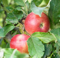 Apples On The Tree Royalty Free Stock Photography - 16320967