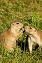 Black Tailed Prairie Dogs Royalty Free Stock Images - 16337659