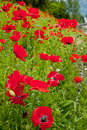 Red Poppies Flowers In Field Snoqualme Washington Stock Images - 16345844