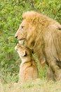 Large Male Lion With Cub Royalty Free Stock Photos - 16348708