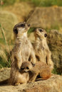 Family Of Meerkats With A Baby Royalty Free Stock Photo - 16354145