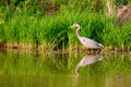 Great Blue Heron Royalty Free Stock Photo - 16359955