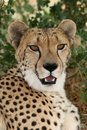 Cheetah Portrait Stock Image - 16395831