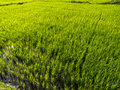 Rice Paddy Royalty Free Stock Images - 16412979
