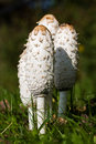 Four Shaggy Ink Caps Stock Images - 16413484