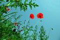 Blooming Poppies Over Blue Sky Royalty Free Stock Photography - 16434297