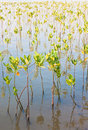 Young Mangroves Forest Stock Photos - 16439243