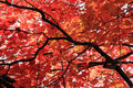 Red Maple Leaves Stock Image - 16451101