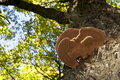 Wood Mushroom On A Maple Trunk Stock Photography - 16453062