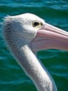 Pelican Royalty Free Stock Photography - 16456077
