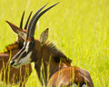 Portrait Of A Sable Antelope Royalty Free Stock Photography - 16457507
