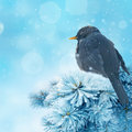 Blackbird In Winter Time Royalty Free Stock Images - 16477879