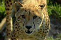 Cheetah Stock Images - 1653934