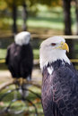 American Bald Eagle Looks Right Stock Images - 1654544
