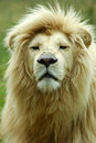 White Lion Portrait Stock Photography - 1658802