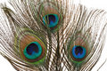 Peacock Feathers Stock Image - 16500081