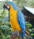 Ara Parrot Royalty Free Stock Images - 16501309