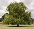 Tree In A Park Royalty Free Stock Photography - 16531157