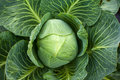 White Cabbage Head Royalty Free Stock Photo - 16534235