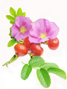 Wild Rose Flowers And Red Hip Berries For Tea Royalty Free Stock Photos - 16593178