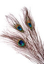 Peacock Feather Stock Photo - 1660430