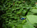 Sara Longwing (Heliconius Sara) Butterfly Royalty Free Stock Image - 1662596