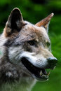 Wolf Royalty Free Stock Photo - 1667505
