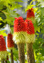 Red Hot Poker Royalty Free Stock Image - 16613296