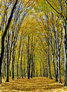 Yellow Valley Among Beeches Trees Stock Images - 16617934