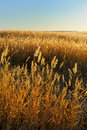 Reed Stalks In The Swamp Royalty Free Stock Photography - 16622967