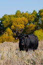 Black Angus Cow Standing In A Sagebrush Field Stock Image - 16636241