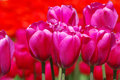 Pink Tulips Royalty Free Stock Photo - 16679335