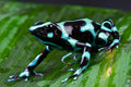 Green And Black Poison Dart Frog Stock Photography - 16686222