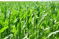 Agriculture Corn Plants Field Green Plantation Royalty Free Stock Photo - 16697545