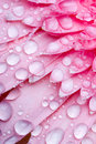 Pink Daisy Petails Stock Photography - 1672952