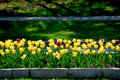 Tulips Royalty Free Stock Photography - 1674727