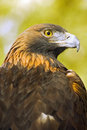 Golden Eagle (Aquila Chrysaetos) Profile Over Green-Gold Background Royalty Free Stock Images - 1678999
