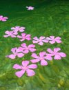 Oleander Pink Flowers Floating In River Royalty Free Stock Image - 16701276