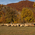 Sheeps Royalty Free Stock Images - 16710439