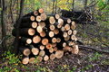 Ordered Timber For Firewood Stock Photo - 16752730